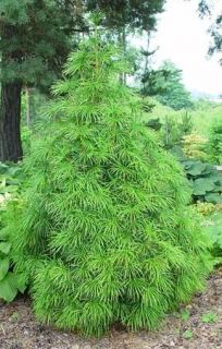 Japanese Umbrella Pine, Sciadopitys verticillata, Tree Seeds