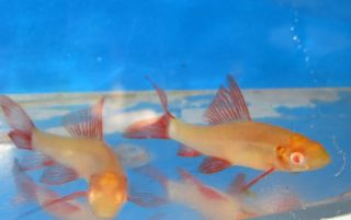 Live Fish Albino Shark for Freshwater Plant Aquarium