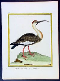 1765 Buffon Antique Bird Print White Neck Stork America